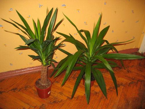 Муррайя все о комнатных растениях на