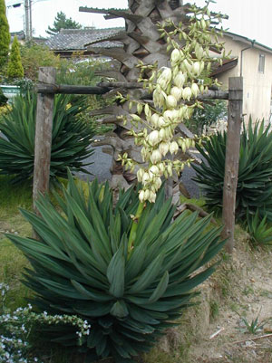 Почему листья у пальмы желтеют и сохнут
