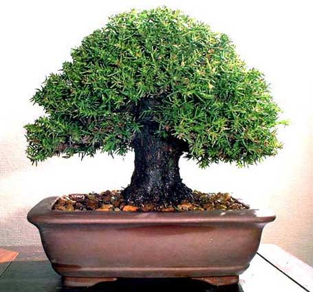 ...которые являются точной копией обычных деревьев с которыми мы сталкиваемя в повседневности: ясень, сосна, кедр...