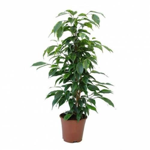Растение хорошо переносит стрижку