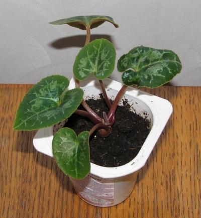 Выращивание цикламенов семенами в домашних условиях 3