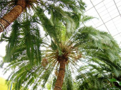 виды домашних пальм: