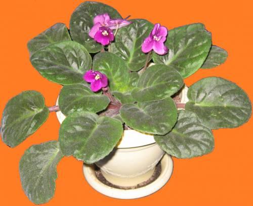 Комнатное растение фиалка уход