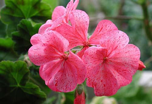 цветы из бисера антуриум мк.