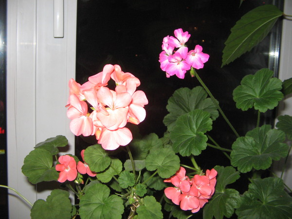 Цветы фото герань