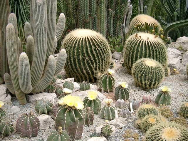 Комнатные растения кактусы и суккуленты - кактус на Ваш Сад.