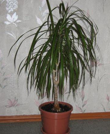 Домашний цветок в виде пальмы