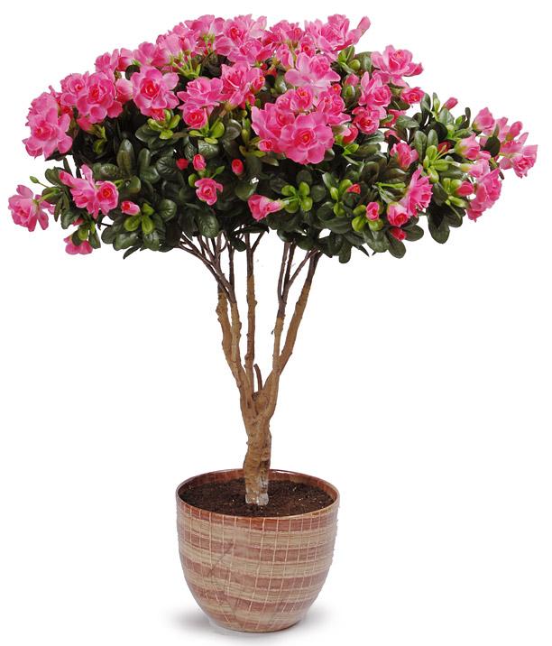 Азалия - Фотоальбомы - Комнатные цветы: domflowers.ucoz.ru/photo/azalija/7-10-0-0-2